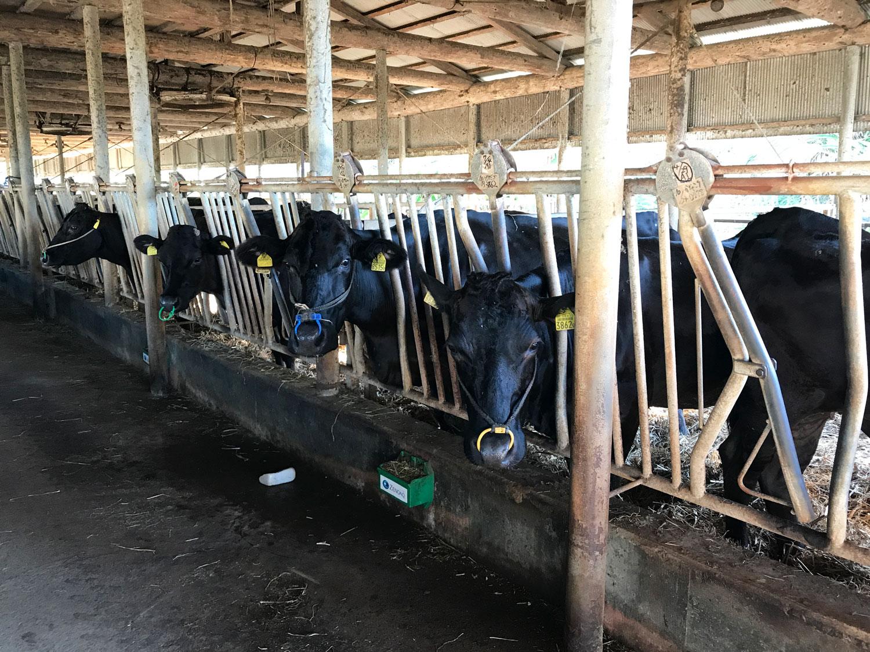 牛舎内の生産牛