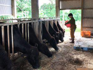 畜産農家で牛への餌やりそしている要さん
